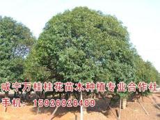 贵州桂花树批发 万桂桂花