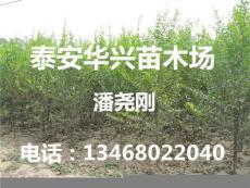 基地出售1.5米石榴樹 石榴樹產量