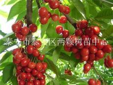 瑪瑙紅櫻桃苗
