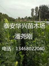 3米北海道黃楊哪里有賣的 多少錢一棵