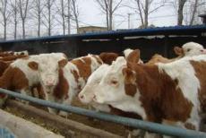 安徽小牛犢價格