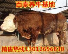 湖南養牛基地出售西門塔爾 利木贊牛肉牛犢