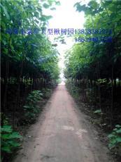 周口楸树6公分太康楸树5公分楸树价格复叶槭
