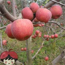 昭通苹果原生态丑苹果10斤包邮全国一件代发