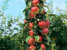 M9T337矮化蘋果苗淺談花開季節蘋果苗噴灑農