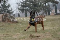 吉林四平哪里卖马犬的 红马犬幼犬多少钱