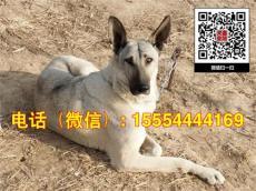 哪里有賣中華狼青犬的幼犬價格