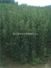 管理有方法 垂丝海棠的栽培注意事项